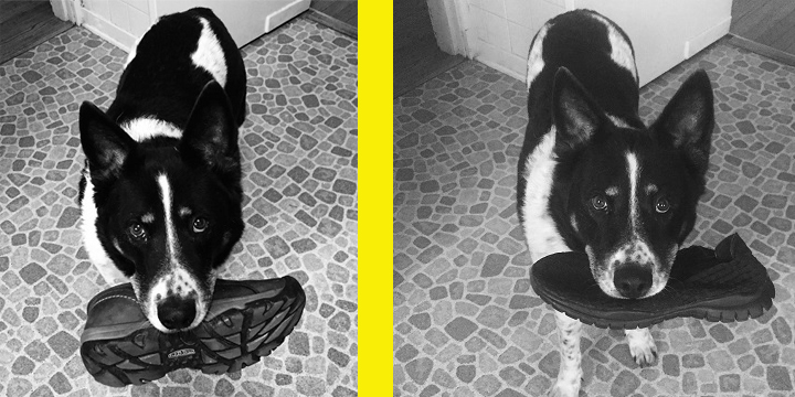 """Submitted by owner Debra R: A testament to positive reinforcement! Note Jake (left) with """"stolen"""" shoe, and Jake (right) after six months training – contrite, repentant, and carrying a slightly smaller shoe. Well done, Jake!"""