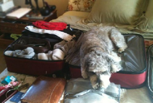 Conflicting service animal guidelines and fluctuating baggage fees leave many dogs confused about their status.