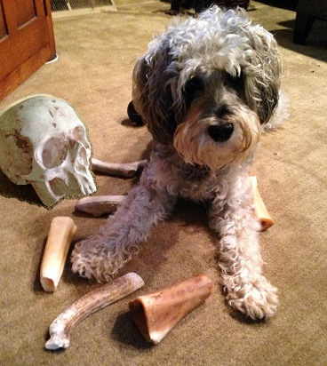 Unlike Budleigh, Brisby eschews socks and shoes in favor of his pile of bones. Oddly, we only bought him two of those, but Uncle Max has been missing for weeks. Hmmm…